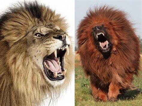 imagenes de leones asesinos china zool 243 gico usaba perros como leones y ratas como