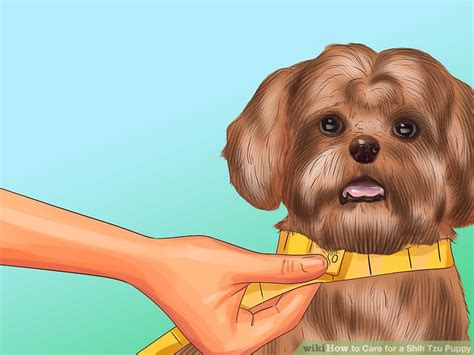 caring for a shih tzu puppy how to care for a shih tzu puppy 14 steps with pictures