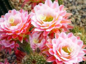 cactus flower garden plant pictures beautiful black and white flowers pictures red yellow