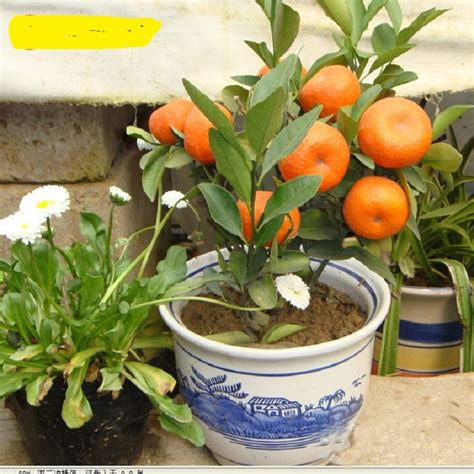 best place to buy wholesale fruit trees buy wholesale potted orange trees from china potted