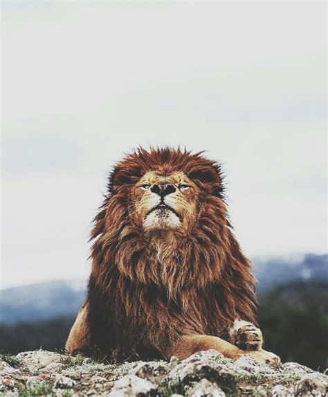 imagenes de leones tumblr tiger image 2656996 by lady d on favim com