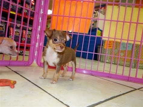 craigslist chihuahua puppies for sale not puppyfind craigslist oodle kijiji hoobly ebay marketplace atlanta