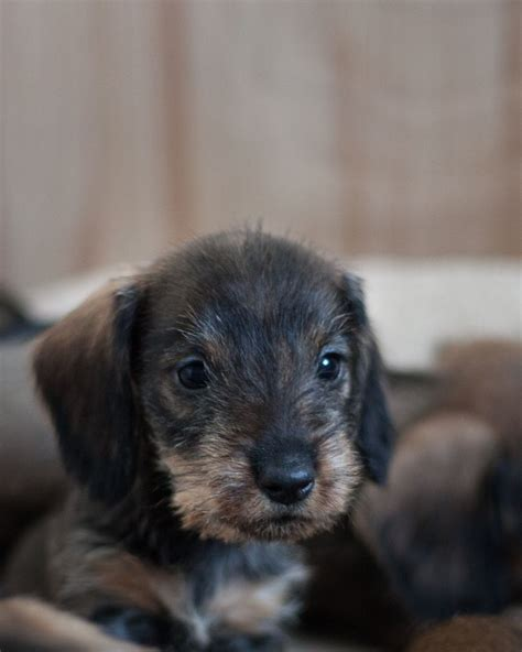 standard wire haired dachshund puppies for sale standard wire haired dachshund puppies for sale bath somerset pets4homes