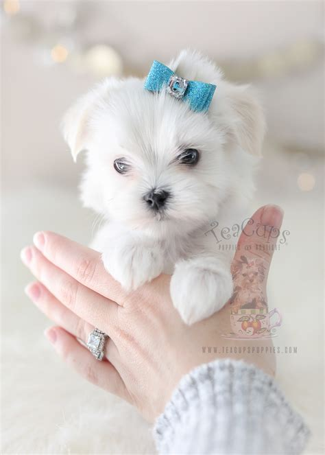 maltese puppy for sale adorable maltese here teacups puppies boutique