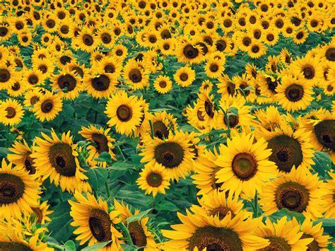 sfondi con fiori sfondi con fiori sfondissimo sfondi screensaver gratis