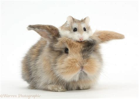 Cute baby rabbit with a Roborovski Hamster (Phodopus