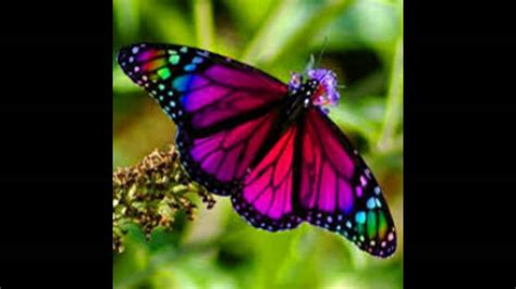 imagenes lindas mariposas las mas lindas mariposas de colores youtube