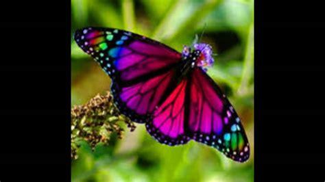 imagenes mariposas mas bonitas mundo las mas lindas mariposas de colores youtube