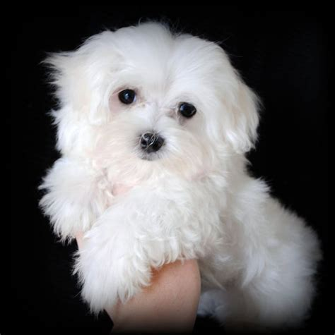 teacup maltese puppies for adoption 17 best images about i maltese dogs on teacup maltese puppies therapy
