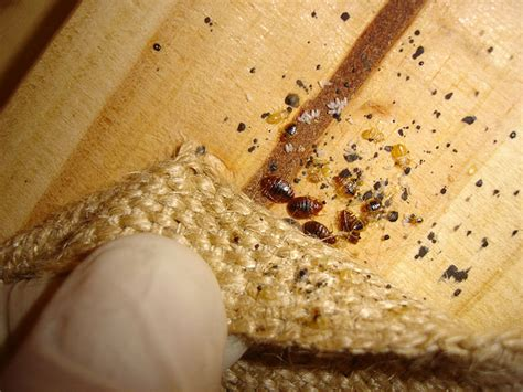 gallery for gt bed bug eggs