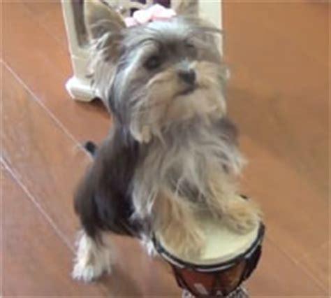 yorkie does tricks of puppy misa minnie doing tricks