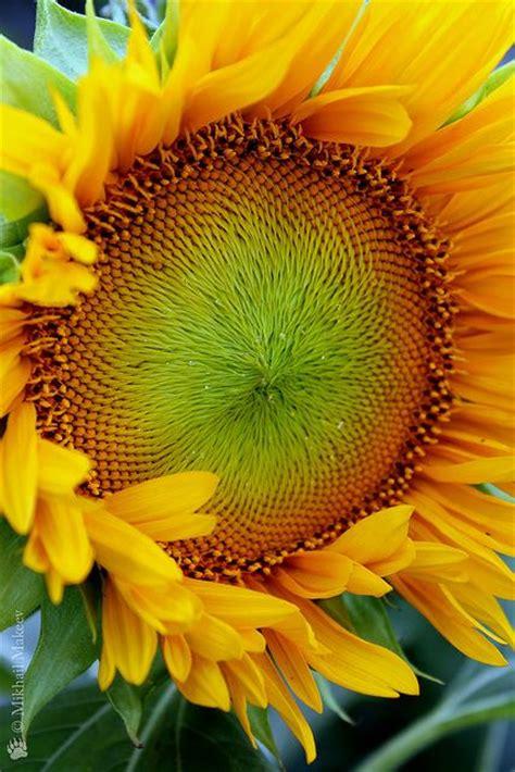 kansas sunflower 50 state flowers 1 pinterest 841 best kansas the sunflower state images on pinterest