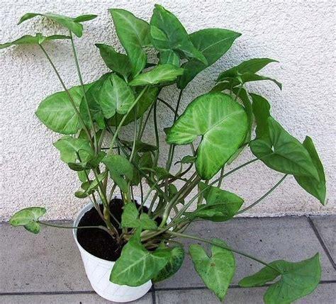 vine house plants syngonium podophyllum nephthytis arrow head plant