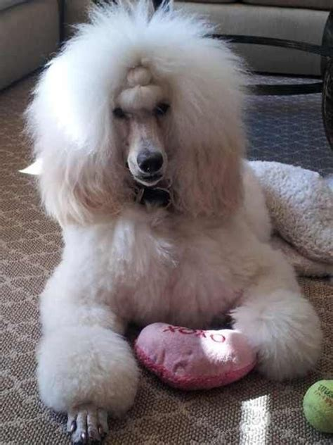 how to get a ponytail on a poodle anyone else do a ponytail poodle forum standard