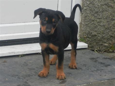 dogs 4 sale 3 4 huntaway 1 4 kelpie puppies for sale aberystwyth ceredigion pets4homes
