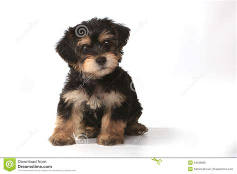 white teacup yorkie puppies tiny miniature teacup yorkie puppy on white background stock photo image 44538065