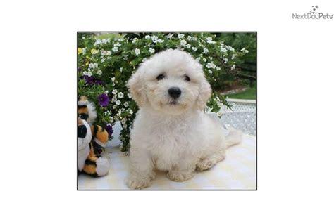 havanese pennsylvania meet harley a havanese puppy for sale for 395 pennsylvania harley