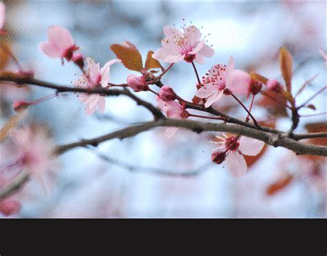 fior di ciliegio fiori di ciliegio on