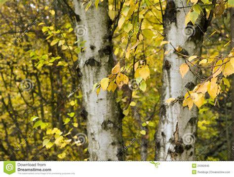 autumn birch royalty free stock photo image 24392945