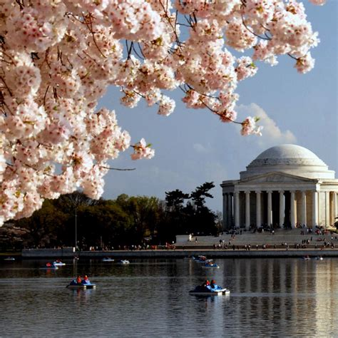 cherry blossom facts national cherry blossom festival fun facts hgtv