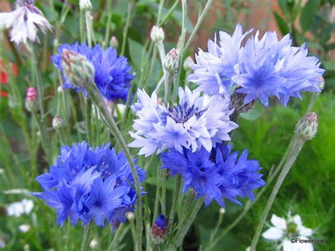 flowercents july blooms