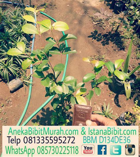 Jual Bibit Kelapa Hibrida Aceh tempat jual bibit buah pisang rmasi bibit pohon buah