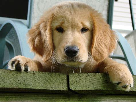 permanent puppy golden retriever ক ক রছ ন wiktionary
