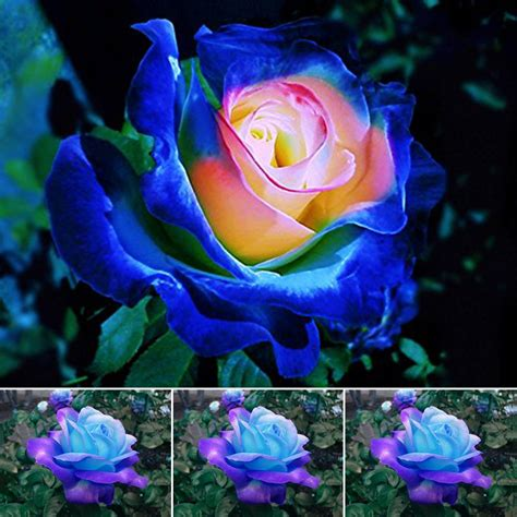 coole pflanzen 50pcs blue pink roses plant seeds balcony garden