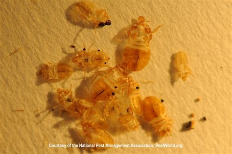 bed bug molting pile of carcasses bed bugs pinterest