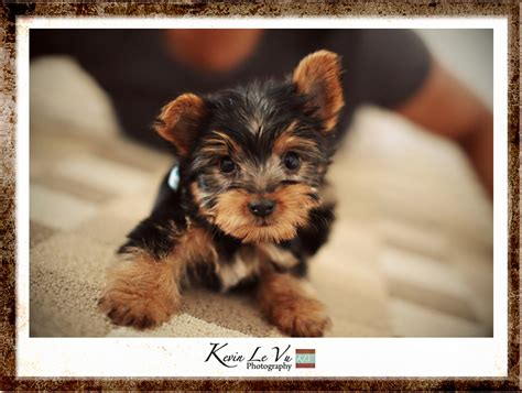boy teacup yorkie names boy teacup yorkie
