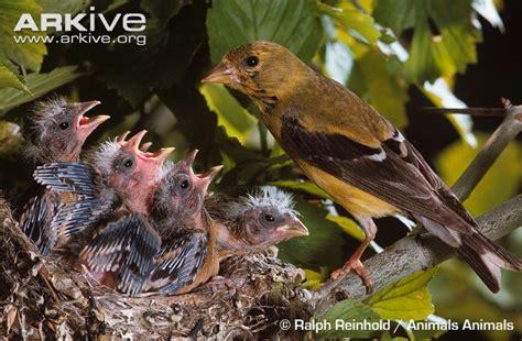 american goldfinch photo carduelis tristis g137976