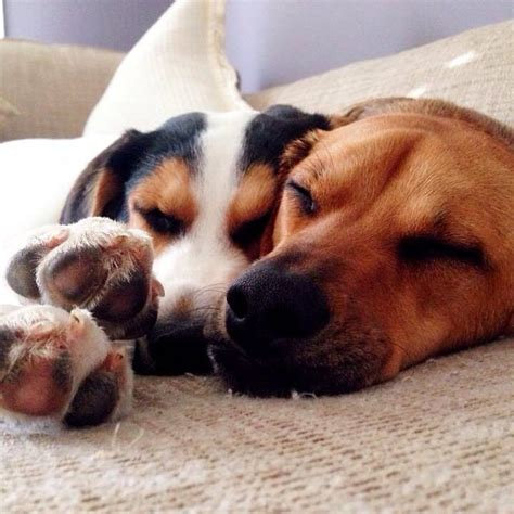 cuddling puppies 23 cuddling dogs who don t who s the big spoon and who s the spoon barkpost