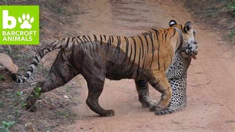 snapped bengal tiger attacks leopard