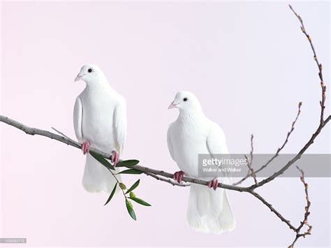 Two With Olive two white doves with olive branch stock photo getty images