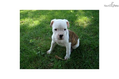 bulldog puppies for sale in ohio 1000 american bulldog for sale for 1 000 near mansfield ohio 07397e4e 7801