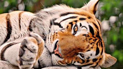 animal wallpaper hd desktop free download cute tiger wallpaper widescreen 10841 wallpaper