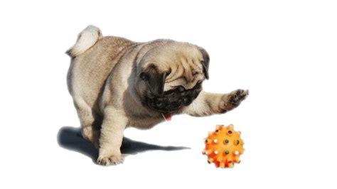 best toys for pugs pug jokes