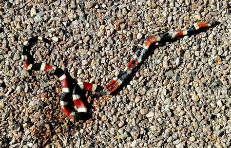 snake pattern red black yellow snakes