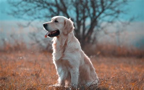 golden retriever desktop wallpaper golden retriever wallpapers pictures images