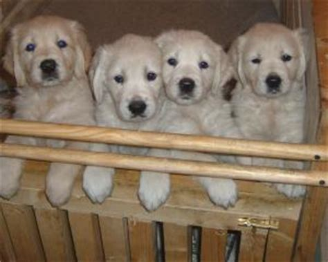 golden retriever puppies 7 weeks pedigree kc registered golden retriever puppies in fareham hshire born 24 10 04