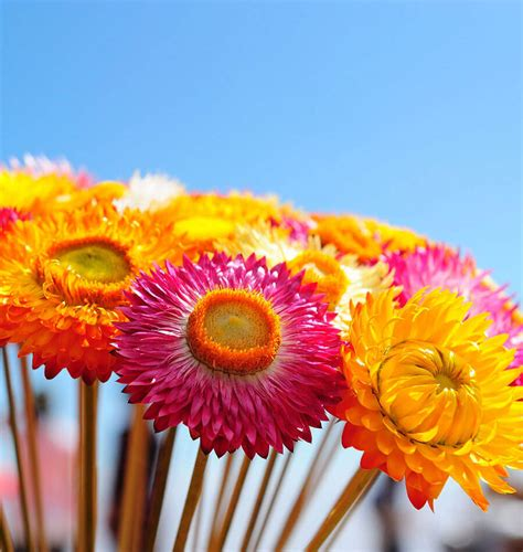 straw flowers how to grow strawflowers west coast seeds