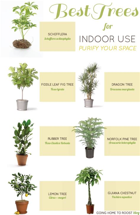 Best Indoor Trees | how to garden without a garden best indoor plants