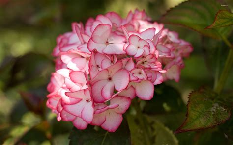 wallpaper flower hydrangea hydrangeas wallpaper flower wallpapers 45653