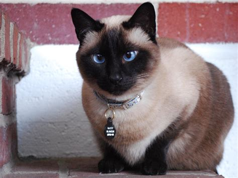 12 Siamese Cat HD Wallpapers   Backgrounds   Wallpaper Abyss