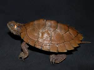 high orange ouachita map turtles for sale from the turtle
