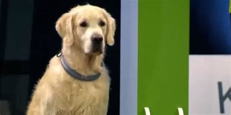 golden retriever obedience golden retriever fails obedience test in most glorious