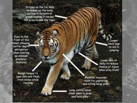 all about tiger tracking by jungle home mudumalai