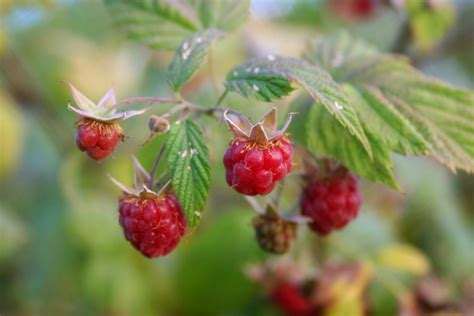 raspberry identification file wild raspberries close up jpg