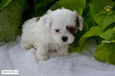 shih poo puppies for sale in sc cas search and for sale on