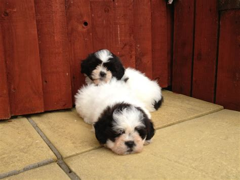 Bichon Frise X Shih Tzu Puppies For Sale 1 Llanelli Carmarthenshire Pets4homes